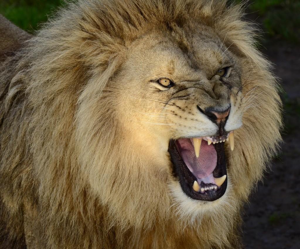 lion-roar-93969