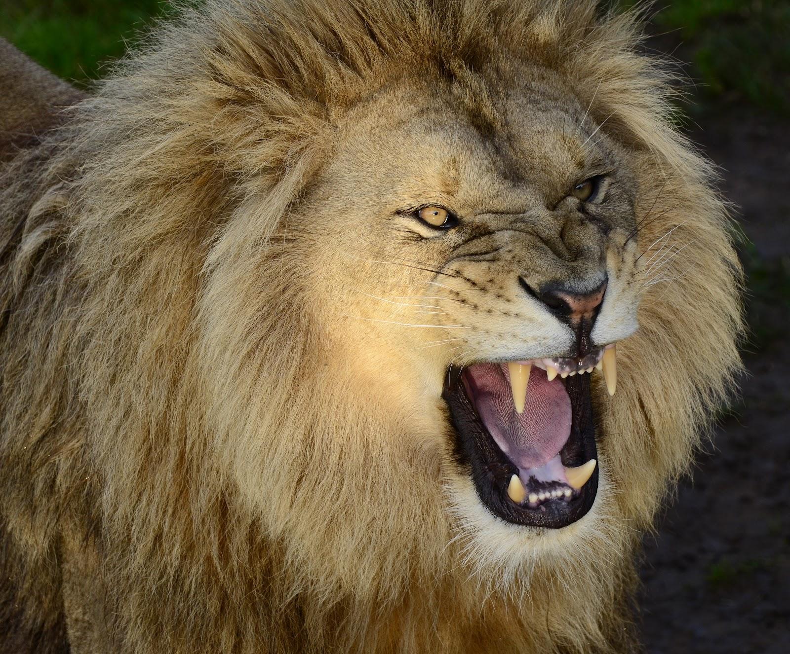 Lion side view face roar - photo#19